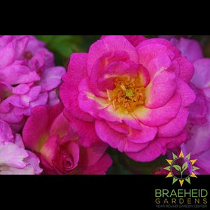 Easy El.® Sunrise Sunset Rose