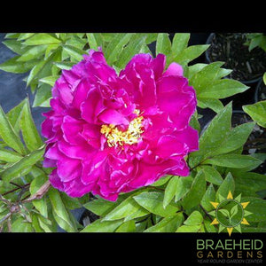 Karl Rosenfield Peony - NO SHIP -
