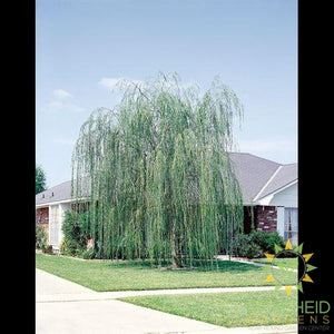Prairie Cascade Weeping Willow