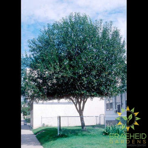 Prairie Reflection® Laurel Willow