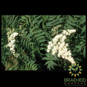 False or Ash Leaf Spirea