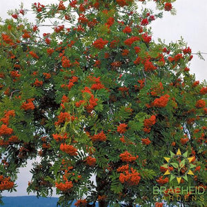 European Mountain Ash