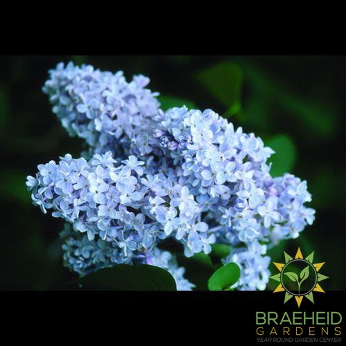 President Grevy French Lilac