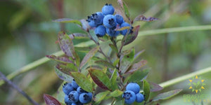 Native Blueberry