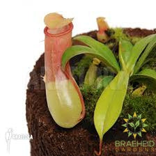 Tropical Pitcher Plant - Nepenthes Ventricosa & Sanguine