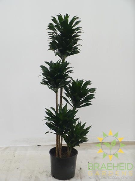 Large Janet Craig Dracaena - NO SHIP