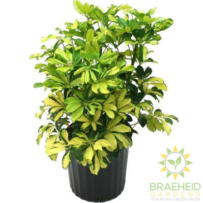 Large Schefflera Bush - Arboricol - NO SHIP