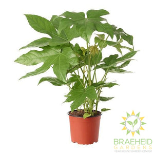 Large Fatsia Japonica - NO SHIP