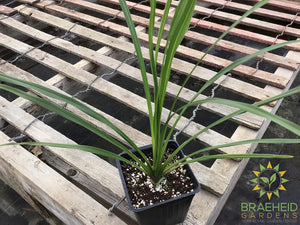 Dracaena Spike - NO SHIP -