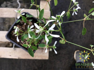 Euphorbia Hybrid 'Diamond Frost' PW - NO SHIP -