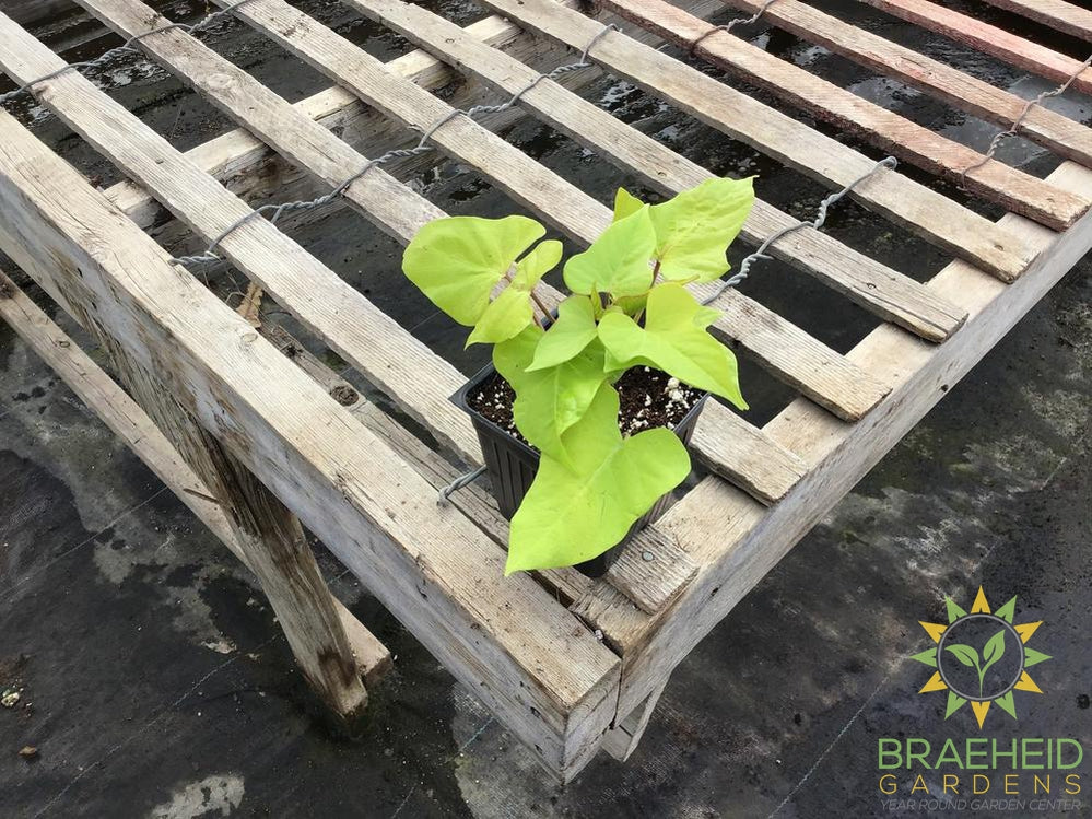 Ipomoea (Sweet Potato Vine) 'Marguerite' - NO SHIP -