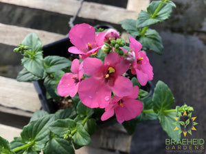 Diascia 'My Darling Berry' - NO SHIP -