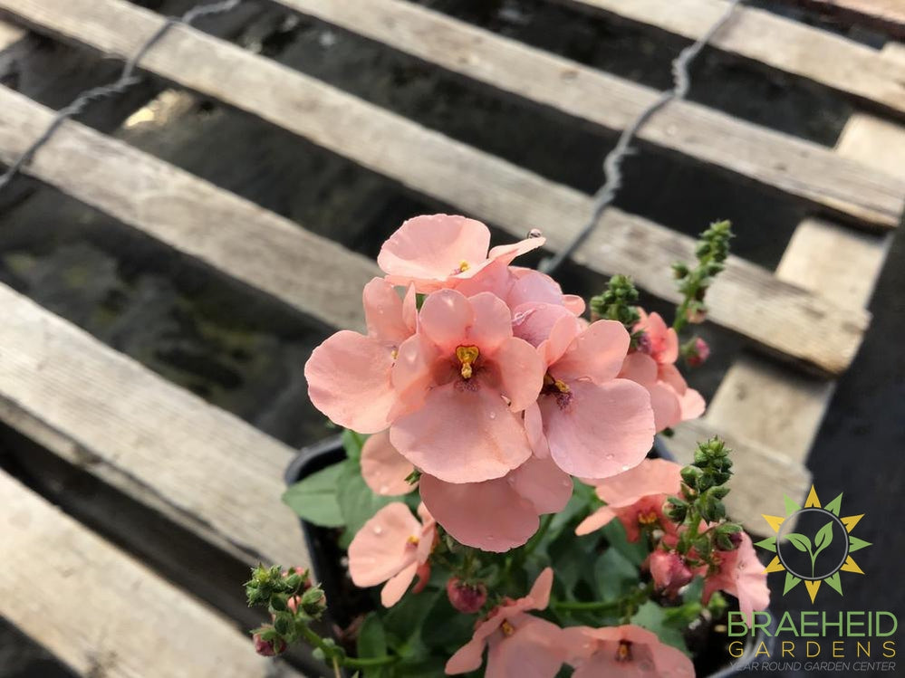 Diascia 'My Darling Peach' - NO SHIP -