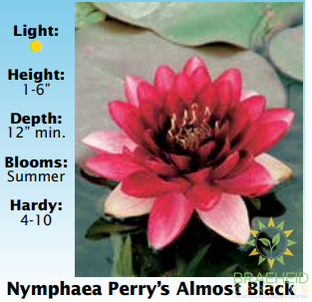 Nymphaea Perry's Almost Black