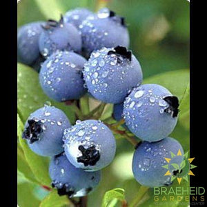 Polaris Blueberry