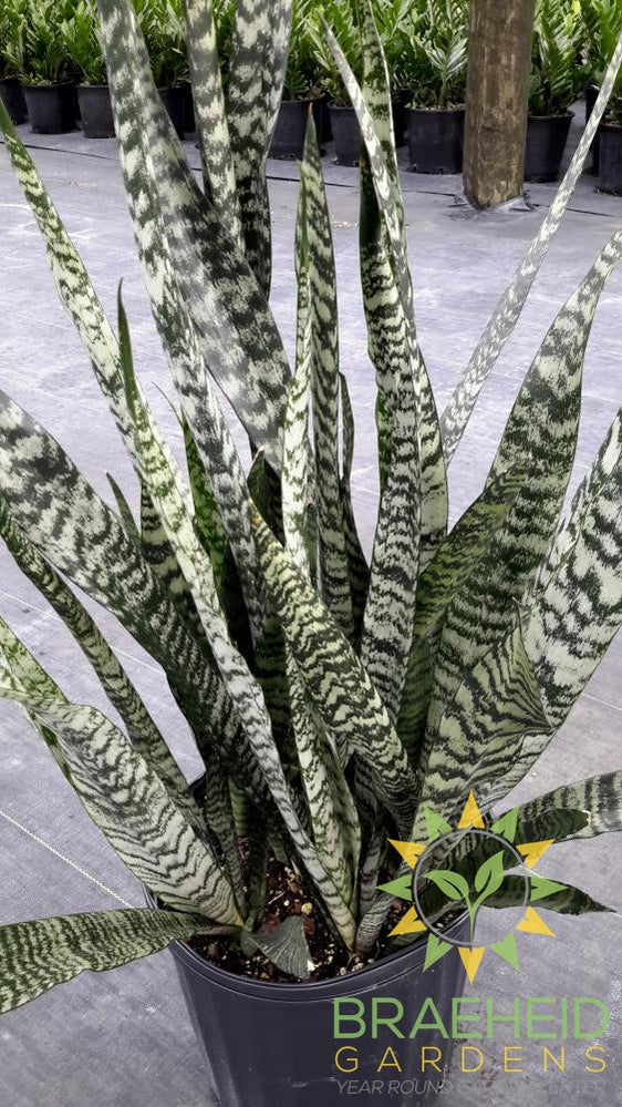 Large Wintergreen Sansevieria - NO SHIP