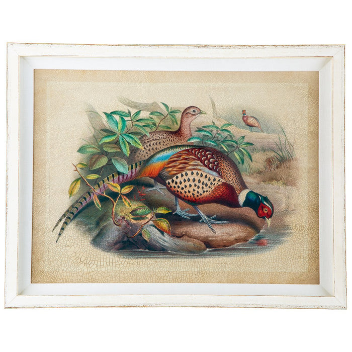Gould Chinese Ring-Necked Pheasant Print