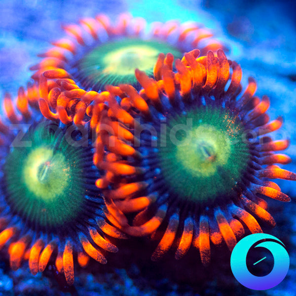 Blue Boo Berries Zoanthids