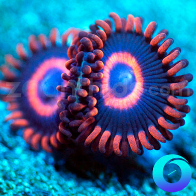 Blue Safe Cracker Zoanthids