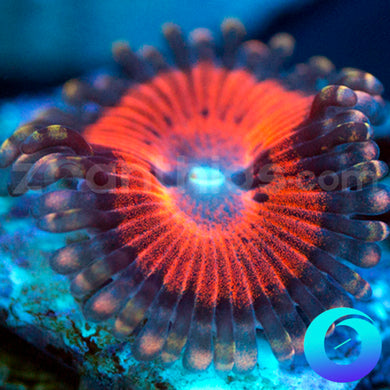 Crimson Corruption Zoanthids