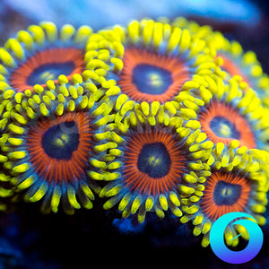 Eagle Eye Zoanthids