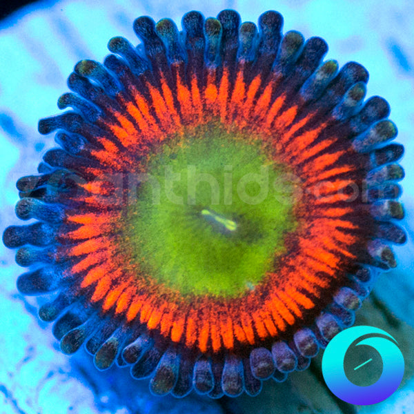 Flash Burn Zoanthids