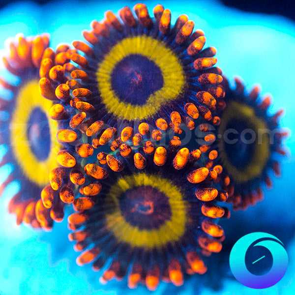 Fruit Loop Zoanthids