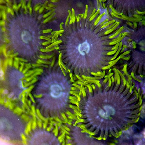 Incognito Zoanthids