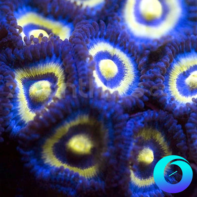 Outcast Zoanthids