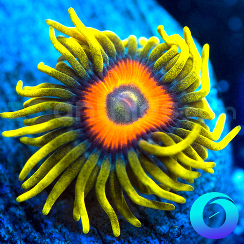 Super Sunflower Zoanthids