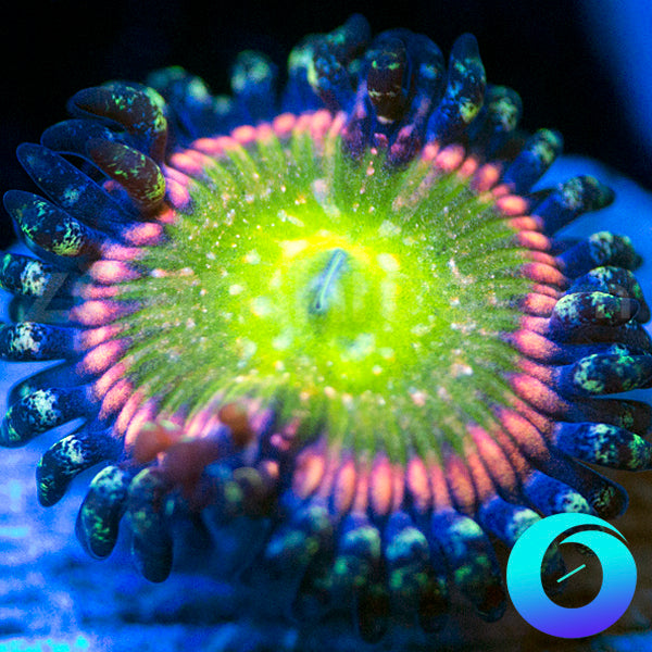 WWC Space Juice Zoanthids