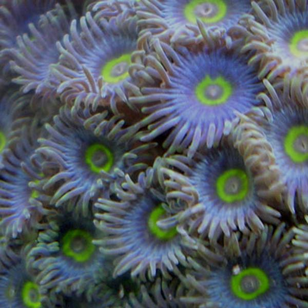 African Blue Zoanthids