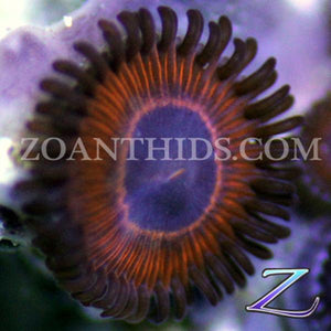 Alien Warfare Zoanthids