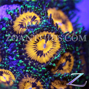 Angelles Rouge Zoanthids