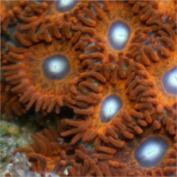 Arctic Inferno Zoanthids