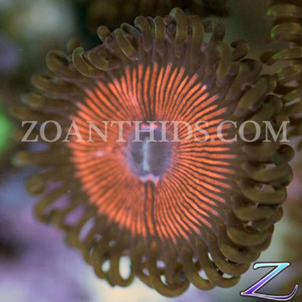 Armor of God Zoanthids