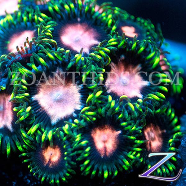 Asterina Pink Zoanthids