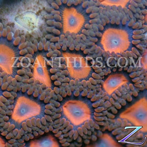 Atomic Orange Zoanthids