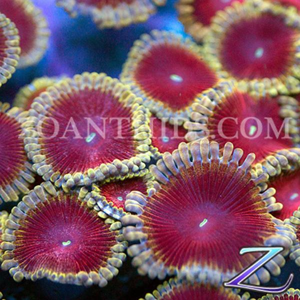 Bachelorette Party Zoanthids
