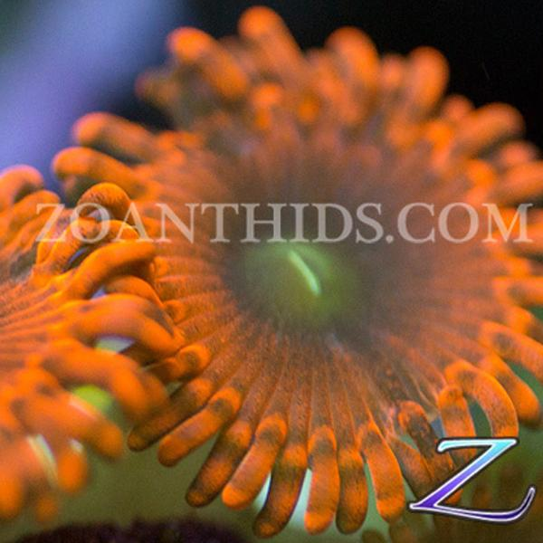 Barn Fire Zoanthids