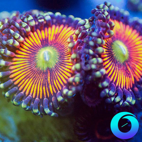 Berries and Cherries Zoanthids