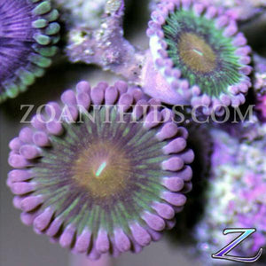 Berry Mary Zoanthids