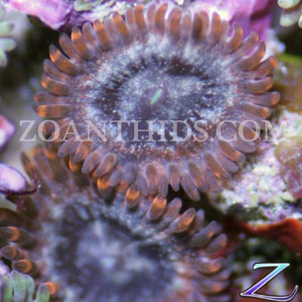 Big Bang Zoanthids