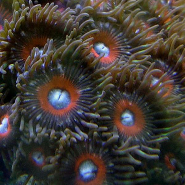 Black Cherries Zoanthids