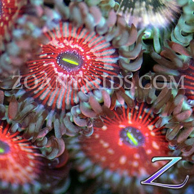 Blazing Agave People Eater Zoanthids