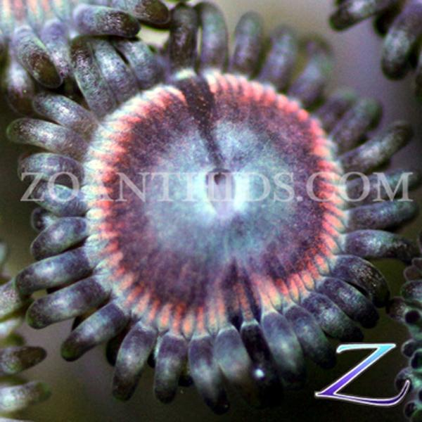 Blister Berry Zoanthids