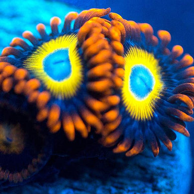 Blondies Zoas