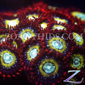 Blood Bath Zoanthids
