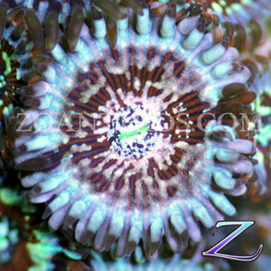 Blue Agave People Eater Zoanthids