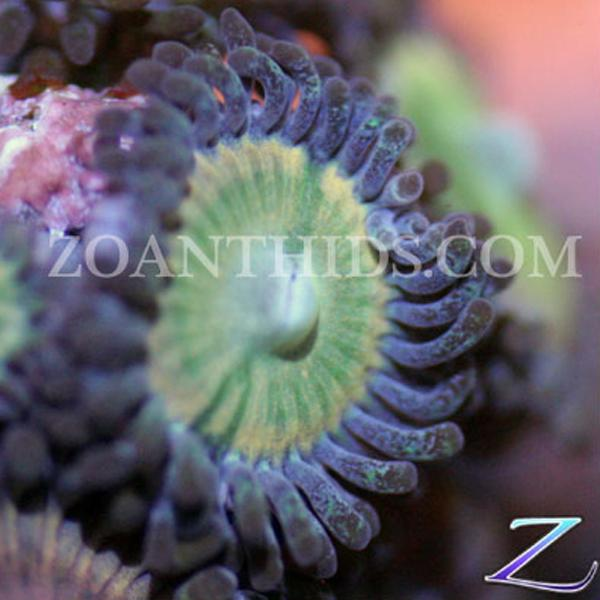 Blue Rainbow Zoanthids